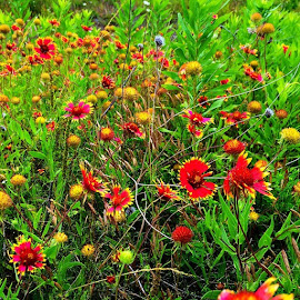 I saw some beautiful Texas Wildflowers on my run today. by Steve Brassil - Nature Up Close Other plants ( texas, texaswildflowers, runner, running, runnerphotography )