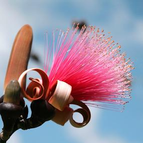 Chinese Silk Tree Blossom by Rita Colantonio - Flowers Flowers in the Wild ( silk blossom, tree blossom, tropical tree blossom )