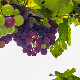 Bunches of grapes by Cesare Morganti - Food & Drink Fruits & Vegetables ( fruit, nature, grapes, grape, nature up close )