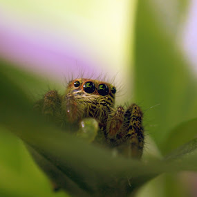 Hiding Spider by Gokul Rajenan - Animals Insects & Spiders ( eyes prey spider leaves greenish )