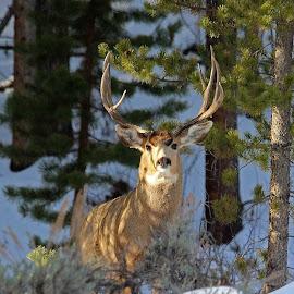 Morning Buck by Kirby Hornbeck - Animals Other Mammals ( animals, winter, antlers, rut, snow, trees, mule deer, deer )