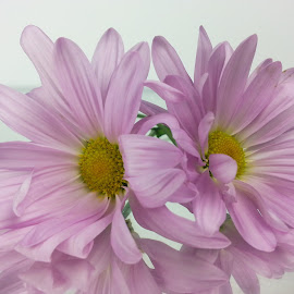 Two pink flowers by Dipali S - Instagram & Mobile Android ( nature, flora, daisy, pink, flower )