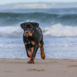 by Martha van der Westhuizen - Animals - Dogs Playing