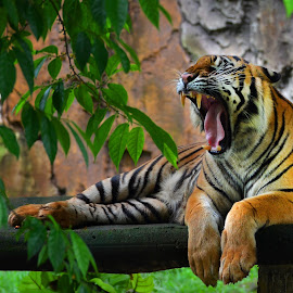 Sleepy head by Dikky Oesin - Animals Lions, Tigers & Big Cats ( big cats, tiger, yawning, sumatrean, yellow, stripes, animal )