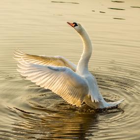 swan  by Rose-marie Karlsen - Animals Birds ( water, bird, nature, sunset, wings, swan,  )