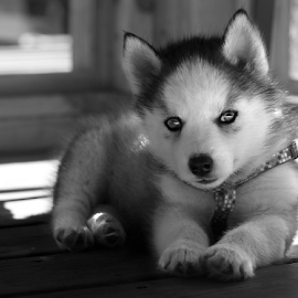 Little Willow by Kelly Alholinna - Animals - Dogs Puppies ( black and white, husky, puppy, dog, puppy portrait )