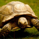 Tortoise or land turtle