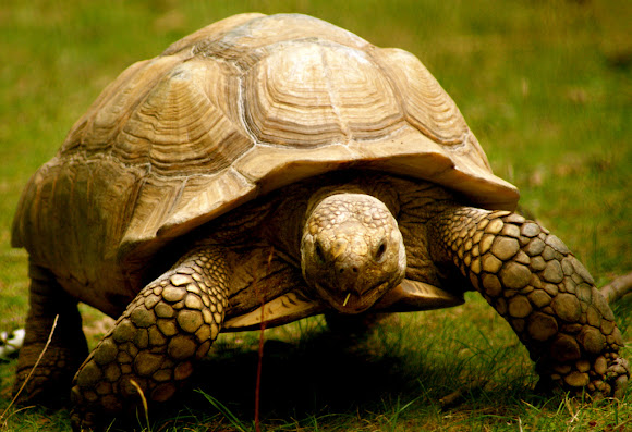 Tortoise or land turtle Project Noah