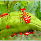 Red Cotton Bugs (Nymph)