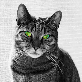 Bright eyes by Mark Bentley - Animals - Cats Portraits ( cats, cat, cat eyes, color, black and white, portrait, eyes,  )