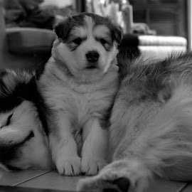 Mother's Patience by Cheryle Greenly - Animals - Dogs Puppies ( alaskan malamute, dog )
