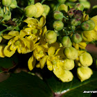 Oregon Grape flowers
