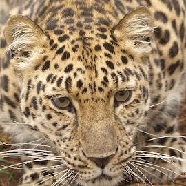 Amur Leopard by Garry Chisholm - Animals Lions, Tigers & Big Cats ( garry chisholm, predator, carnivore, nature, wildlife, amur, leopard )