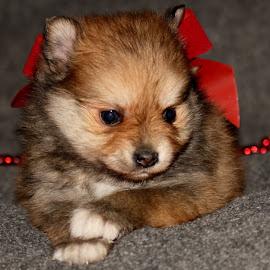 Christmas Puppy~Sandra~ by Leah Danker - Animals - Dogs Puppies ( cute puppy, christmas puppy, puppy, sandra, puppy portrait,  )
