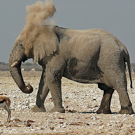 The Dust Bath by Sandy Hurwitz - Animals Other Mammals ( dusting, bull. elephant, etosha, africa )