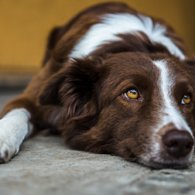 Border Collie by Cristobal Garciaferro Rubio - Animals - Dogs Portraits ( colllie, brown dog, border, dog )