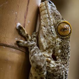 Madagascar giant gecko by Renos Hadjikyriacou - Animals Reptiles (  )