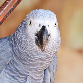 African Grey by Carlien Oberholzer - Novices Only Pets