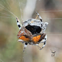 Bark spider catching butterfly