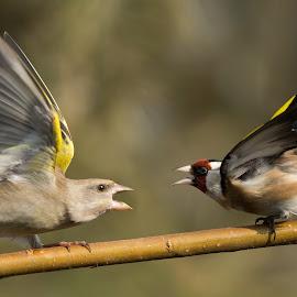 Carduelis chloris vs Carduelis carduelis by Dragomir Taborin - Animals Birds
