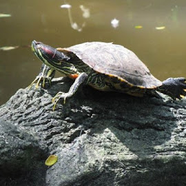 Turtle by Chen Ling - Animals Amphibians ( standing alone, turtle, cutie, lovely one,  )