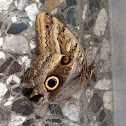 Oileus Owl-Butterfly