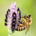 Honeybee (on lavender)