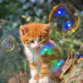 by Maja  Marjanovic - Animals - Cats Kittens ( cats, bubble, kitten, cat, animals, bubbles, kittens, kitty,  )