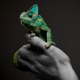 princess on the throne by Ante Kante - Animals Reptiles ( hand, blue, green, grey, reptile, chameleon,  )