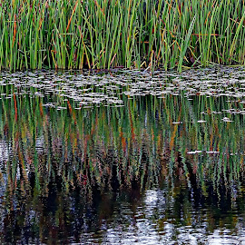 Rush reflections by Costa Philippou - Nature Up Close Leaves & Grasses ( water, bullrush, grass )