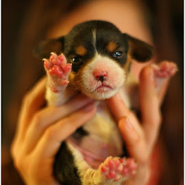 Simba by Dennis Ba - Animals - Dogs Puppies ( puppy, beagle )