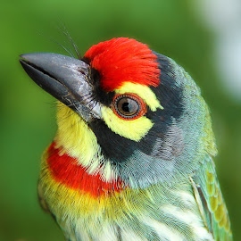 colors & shades  by Mohan Babu - Animals Birds ( bird, animals, colors, coppersmith barbet, close )