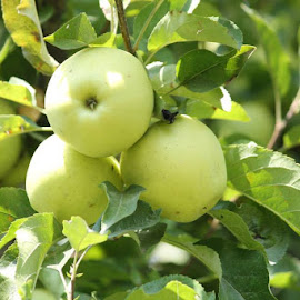 apples by Atanu Banerjee - Nature Up Close Gardens & Produce