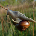 Unknown land snail