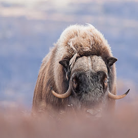 Musk ox by Rita Birkeland - Animals Other ( wilderness, nature, musk ox, wildlife, nature photography, norway )
