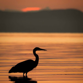 Kye Bay Sunrise by Sharon Snider - Landscapes Sunsets & Sunrises ( #heron #blueheron #sunrise #comox #kyebay )