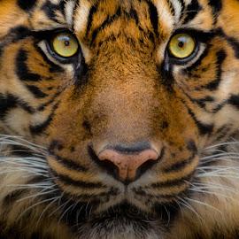 Tiger Tiger Burning Bright by Michael Pachis - Animals Lions, Tigers & Big Cats ( big cat, tiger, tiger close up, memphis zoo, sumatran tiger )