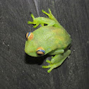 Rough-skinned Tree Frog