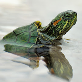 LITLE TURTLE by Gaz Makarov - Animals Amphibians