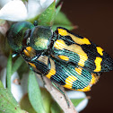 Pair of jewel beetles