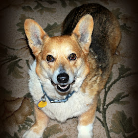 Winston by Sherry Judd - Animals - Dogs Portraits ( 03-14-10, dogs, corgi, pets, portraits )