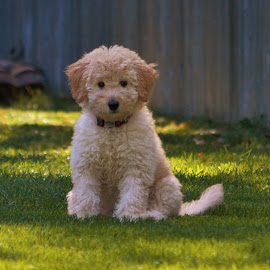 Miss Riley by Todd Leech - Animals - Dogs Puppies ( puppies, doodle, mini golden doodle, golden doodle, wisconsin puppies, green grass,  )