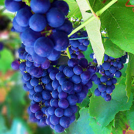 Grapes by Ad Spruijt - Nature Up Close Gardens & Produce