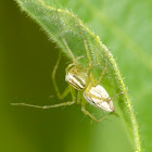 Striped lynx spider (female)