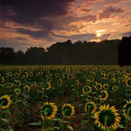 Sun Worship by Kirsten Messmer - Landscapes Prairies, Meadows & Fields ( clouds, field, mckee beshers, sunflower, sunrise, sunflower field, Hope )