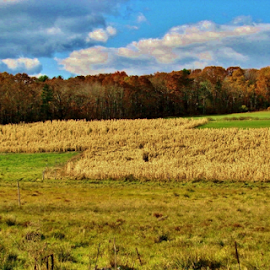 Corn field in the fall by Priscilla Renda McDaniel - Landscapes Prairies, Meadows & Fields ( farm, field, hills, new england, color, trees, maze, fall, colorful, nature )