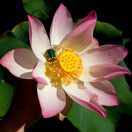 Green bug in Lotus by Zsuzsanna Szugyi - Flowers Single Flower ( green bug, lotus, pink )