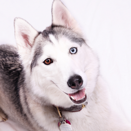 Lexy by Christine Jobin - Animals - Dogs Portraits ( siberien, husky, siberian )