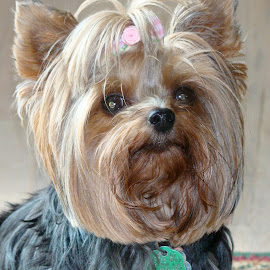 Pookie by Clara Scarano Scubla - Novices Only Pets ( yorkshire terrier, dog portrait, miniature yorkie )
