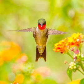 Ruby by Dave Eppley - Digital Art Animals ( bird, flight, flying, avian, hummingbird, wings, flowers )